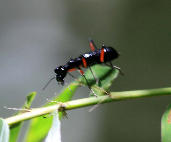 Tricondyla annulicornis