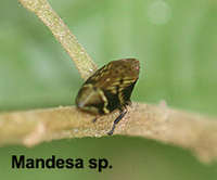 Mandesa sp. indet
