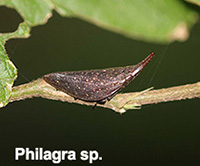 Philagra sp. indet