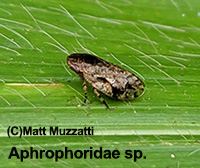 Aphrophoridae sp. indet