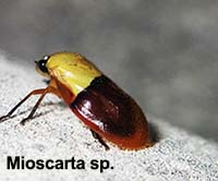 Mioscarta sp.