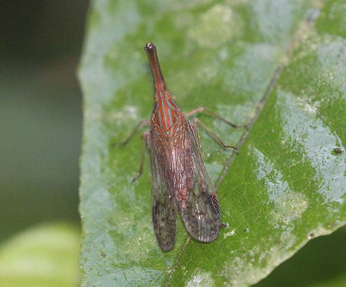 Dictyopharidae - Unknown species