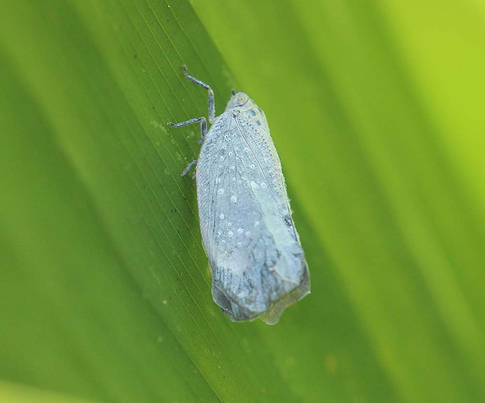 Unknown Flatidae species (Fulgoroidea)
