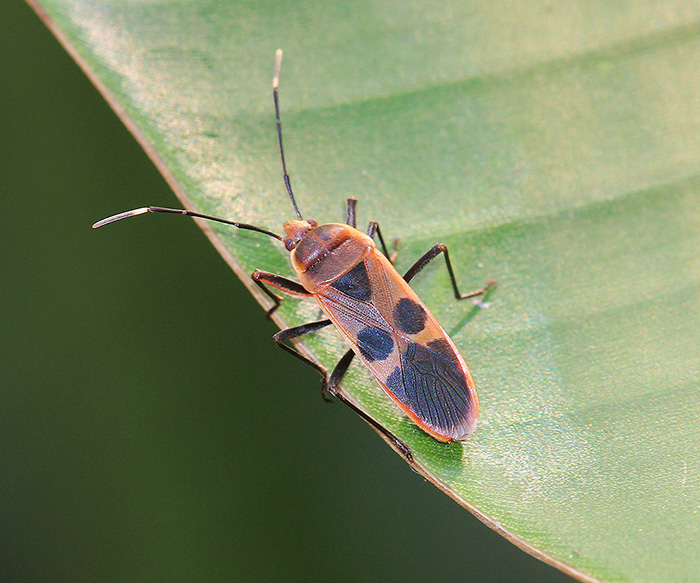 Largidae - Physopelta gutta