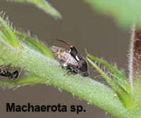 Machaerota sp.
