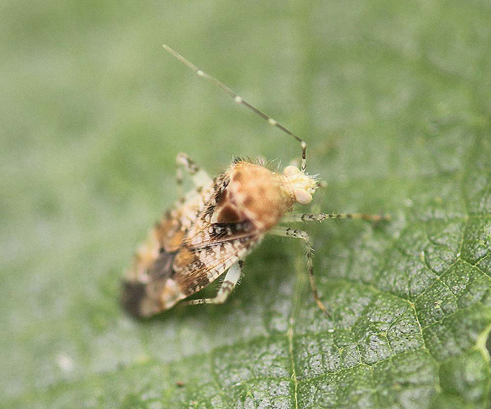 Miridae - Unknown sp.