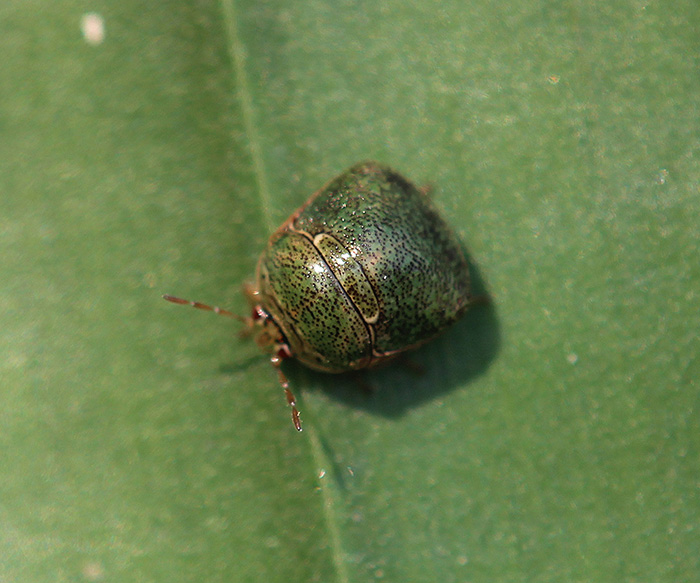Plataspidae - Sp. indet.