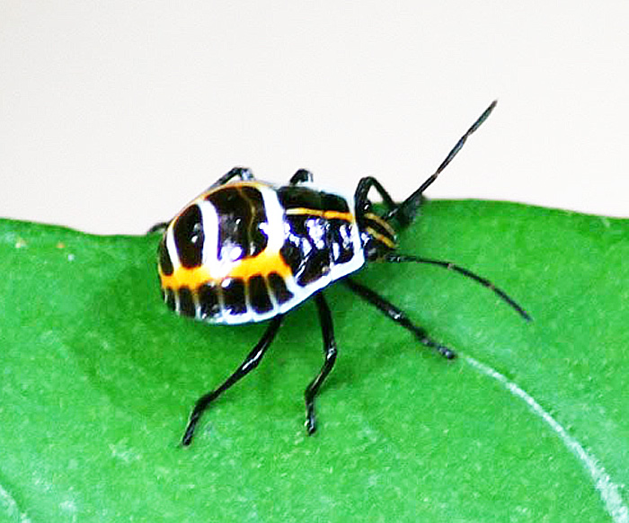 Pentatomidae - Nymph sp. indet. 1