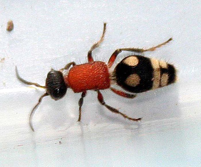 Unknown species 6 (Mutillidae sp.-Velvet Ant)