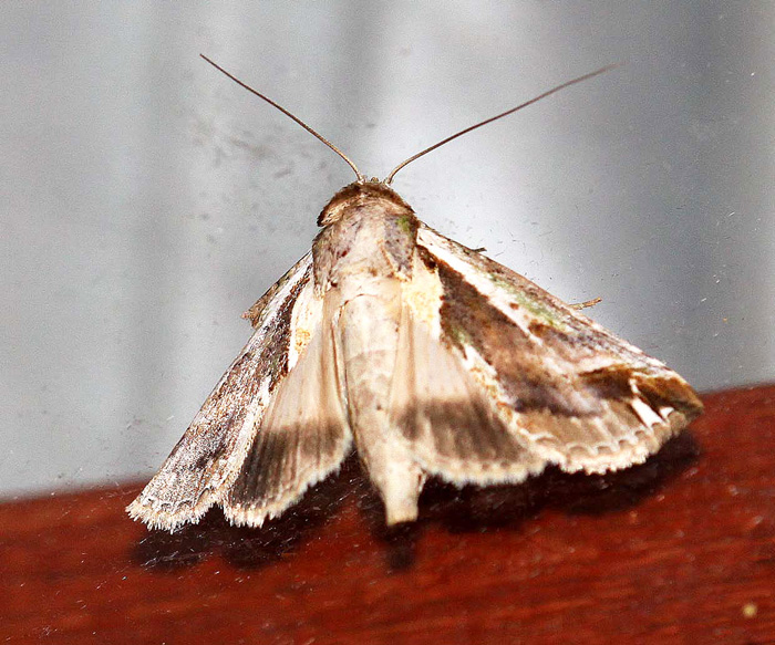 Nolidae-Risoba sp.