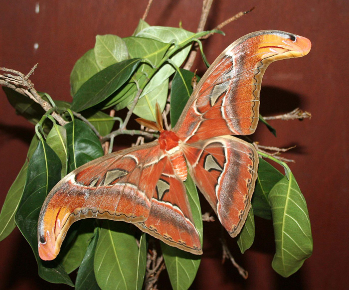 Saturnidae-Attacus atlas