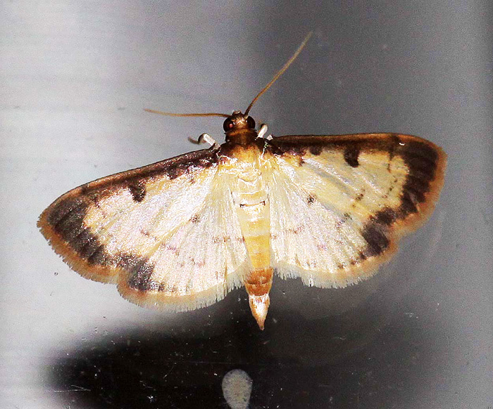 Unknown Species 1 (Crambidae-Spilomelinae)
