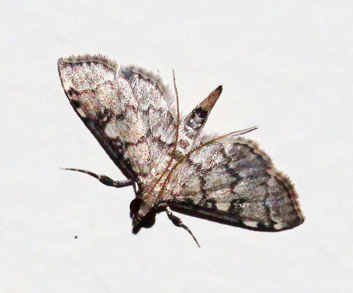 Unknown Species 10 (Crambidae-Spilomelinae)