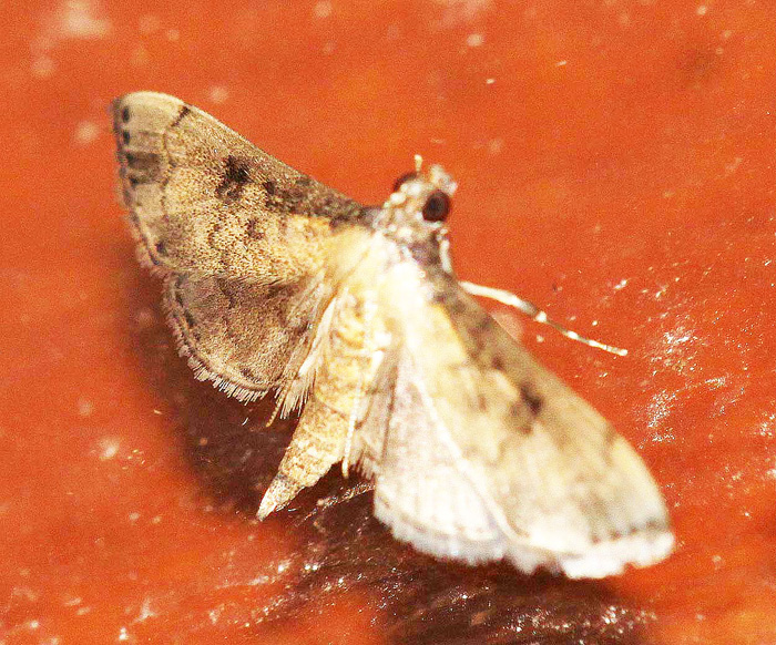 Unknown Species 11 (Crambidae-Spilomelinae)