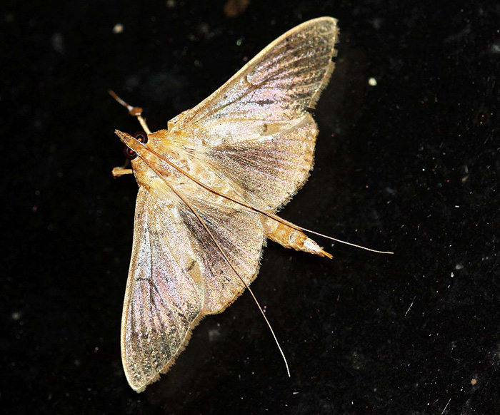 Unknown Species 18 (Crambidae-Spilomelinae)