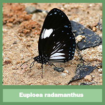 Euploea radamanthus radamanthus