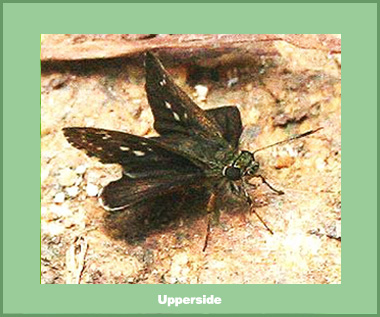 Halpe insignis - Male