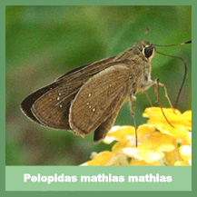 Pelopidas mathias mathias