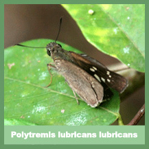 Polytremis lubricans lubricans