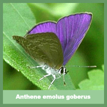 Anthene Emolus Goberus
