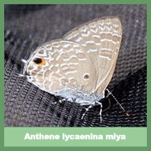 Anthene Lycaenina Miya