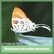 Bindahara Phocides Phocides