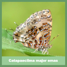 Catapaecilma Major Emas