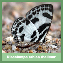 Discolampa Ethion Thalimar