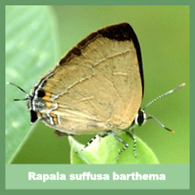 Rapala Suffusa Barthema
