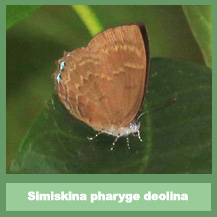 Simiskina pharyge deolina