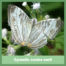 Cyrestis cocles earli