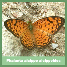 Phalanta alcippe alcippoides