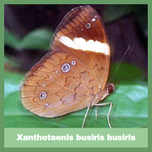 Xanthotaenis busiris busiris