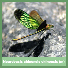 Neurobasis chinensis chinensis (male)