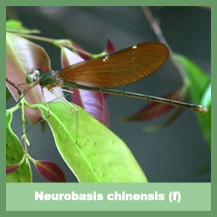 Neurobasis chinensis (female)