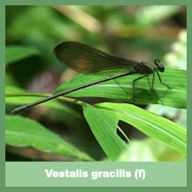 Vestalis gracilis (female)