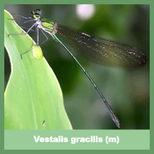 Vestalis gracilis (male)
