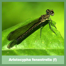 Aristocypha fenestrella (female)