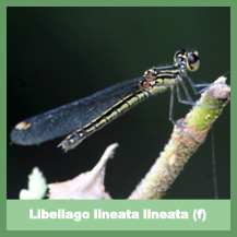 Libellago lineata lineata (female)