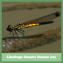 Libellago lineata lineata (male)