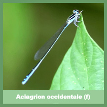 Aciagrion occidentale (female)