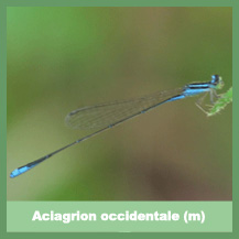 Aciagrion occidentale (male)