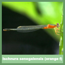 Ischnura senegalensis (orange female)