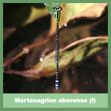 Mortonagrion aborense (female)