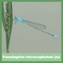 Pseudagrion microcephalum (male)