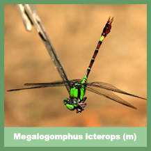 Megalogomphus icterops (male)