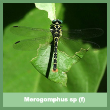 Merogomphus sp (female)