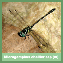 Microgomphus chelifer ssp (male)