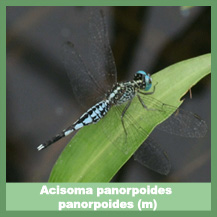 Acisoma panorpoides panorpoides (male)