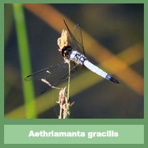 Aethriamanta gracilis (male)